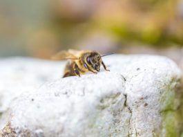 socially unresponsive bees