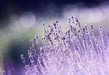 lavender smell