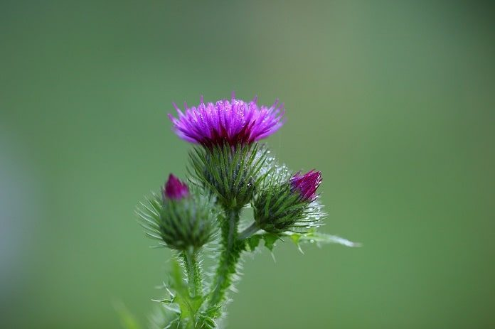 milk thistle and iron supplements