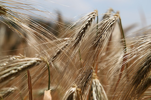 non-celiac wheat sensitivity