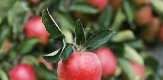 apple polyphenol phloridzin