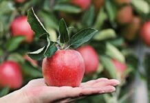 how healthy are apples